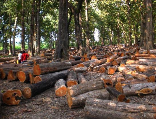 jenis pohon kayu jati
